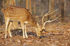 Spotted deer in pench tiger reserve Royalty Free Stock Photos