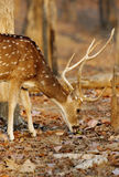 Spotted deer in pench tiger reserve Stock Photography