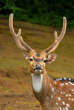 Spotted deer. A picture of young male spotted deer royalty free stock images