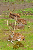 Spotted deer. A picture of young male spotted deer royalty free stock photo