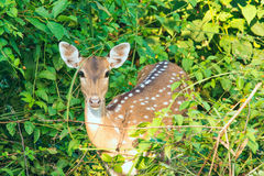 Spotted deer. Portrait of female spotted deer in corbett forest, india Royalty Free Stock Images