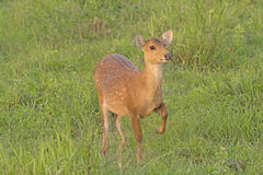 Spotted Deer Posing in a Meadow Stock Image