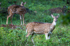 Spotted deer on a rainy day. Canon 6D f4 1/2500 ISO 500 400mm Stock Photos