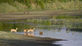 Spotted deer and rhesus macaque crossing river in Bardia, Nepal Royalty Free Stock Photography