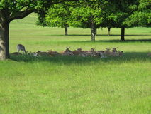 Spotted deer in Richmond Park - UK Royalty Free Stock Images
