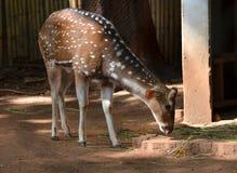 Spotted deer in safari Stock Photos
