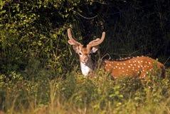 Spotted deer, Sariska Game Reserve, Rajasthan, India Royalty Free Stock Photos