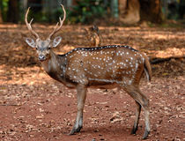 Spotted deer. Sika deer (Cervus nippon) also known as the spotted deer or the Japanese deer Stock Photos