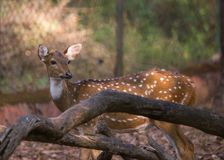 A spotted deer. A spotted dear behind a fallen tree Stock Images