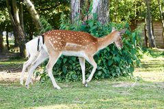 Spotted deer. Walking through the zoo on a summer day Stock Photography
