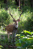 Spotted deer stag facing camera Stock Images