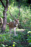 Spotted deer stag in forest Royalty Free Stock Photos