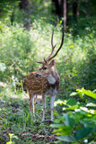 Spotted deer stag in habitat Royalty Free Stock Photo