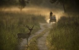 Spotted deer stag and safari vehicle in Dhikala. 