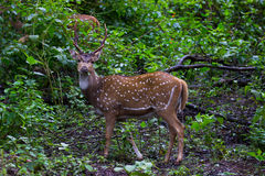Spotted deer stag. Spotted deer stag standing in a forest Royalty Free Stock Photo