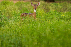 Spotted deer standing in the green field Royalty Free Stock Images