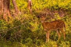 Spotted deer staring at its mom Royalty Free Stock Image