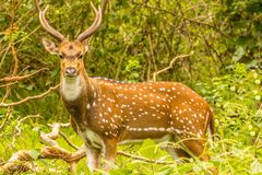 Spotted deer staring at its mom Royalty Free Stock Photography