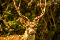 Spotted deer staring at a tourist Royalty Free Stock Photo