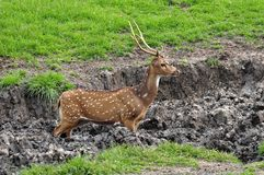 Spotted deer stucked in the mud Stock Image
