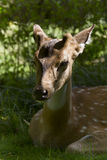 Spotted deer under sunlight, in Bardia, Nepal Stock Photos