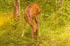 Spotted deer. At waynad forest range Royalty Free Stock Photos