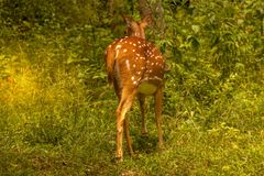 Spotted deer. At waynad forest range Stock Photo