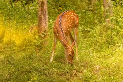 Spotted deer. At waynad forest range Royalty Free Stock Photography