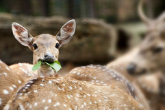 Spotted Deer In The Wild Royalty Free Stock Photo