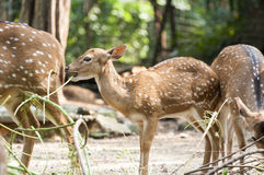 Spotted Deer In The Wild Stock Photography
