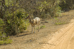 Spotted deer in Yala national park, Sri Lanka Royalty Free Stock Photography