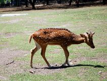 Spotted deer. Young Spotted deer lat. Cervus nippon Stock Photography