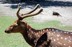 Spotted deer. Young Spotted deer lat. Cervus nippon Stock Image