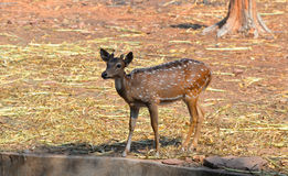Spotted deer stock photo