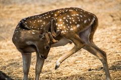 Spotted deer in the zoo Royalty Free Stock Photos