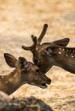 Spotted deer in the zoo Stock Images