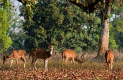 Spotted Deers. Axis Axis or Spotted Deer (Axis axis) INDIA Kanha National Park Royalty Free Stock Photo