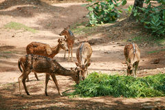 Spotted Deers. Group of spotted deers eating grass in a zoological park Royalty Free Stock Photo