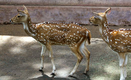 Spotted deers Royalty Free Stock Image