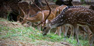 Spotted deers Royalty Free Stock Photos