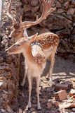 Spotted deers Stock Images