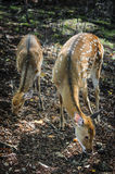 Spotted deers in the autumn forest. Two spotty deer in the autumn forest Stock Photo