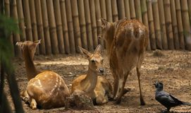 Spotted deers or axis deer and Family Relax in the garden zoo. Axis,Wildlife and animal photo stock image