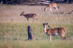 Spotted deers and birds Stock Photography