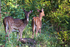 Spotted deers. Canon 6D f4 1/2500 ISO 500 400mm Royalty Free Stock Photo