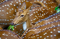 Spotted deers Royalty Free Stock Photo