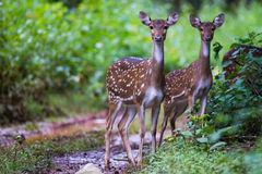 Spotted deers. Spotted deer running in forest Stock Photos