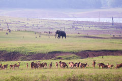 Spotted deers with elephant in background Stock Photos