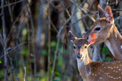Spotted deers faun with mother Stock Photo