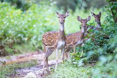 Spotted deers in forest Royalty Free Stock Image